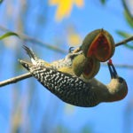 Birds of Nicaragua